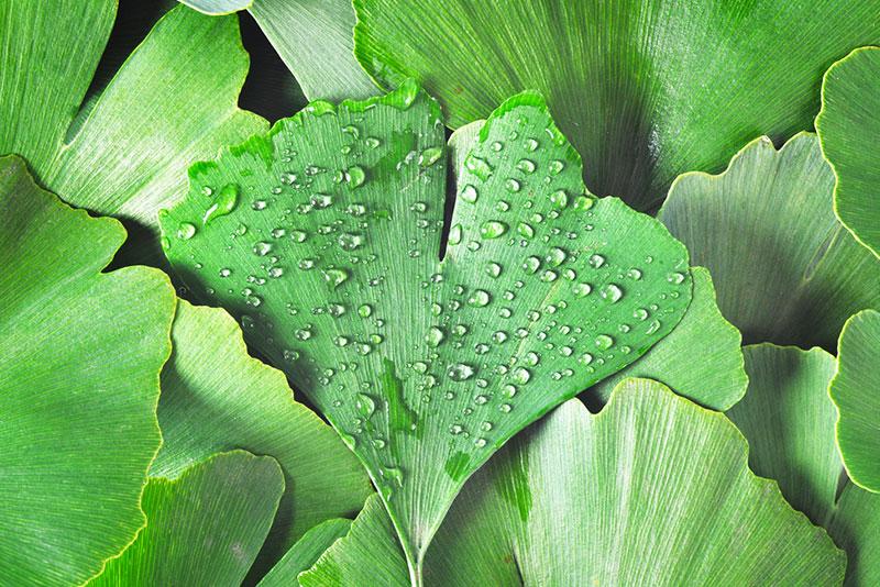 extracto de hojas de ginkgo biloba